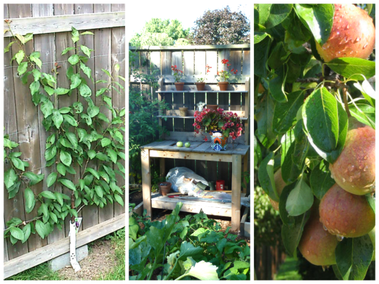 Plum trees grown espalier style/Vegetable garden/Pear tree