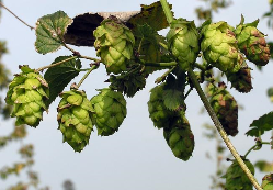 Hops / Source: MPR Photo Mark Steil